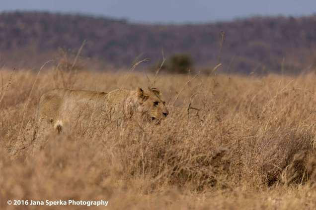 lions-meltingweb