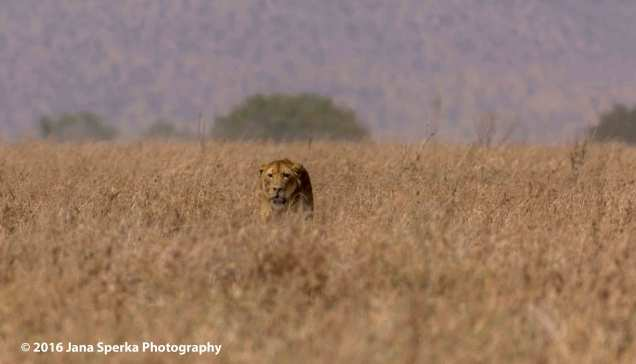 lions-predator_1web