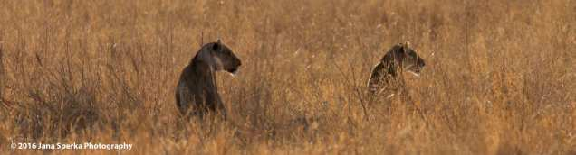 lions-sisters-in-the-morning-lightweb