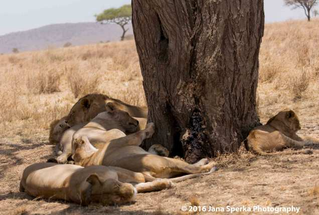 lions-too-darn-hot_1web