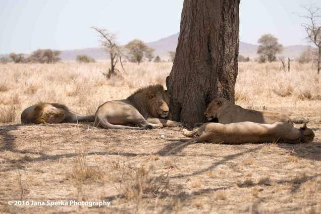 lions-too-darn-hotweb