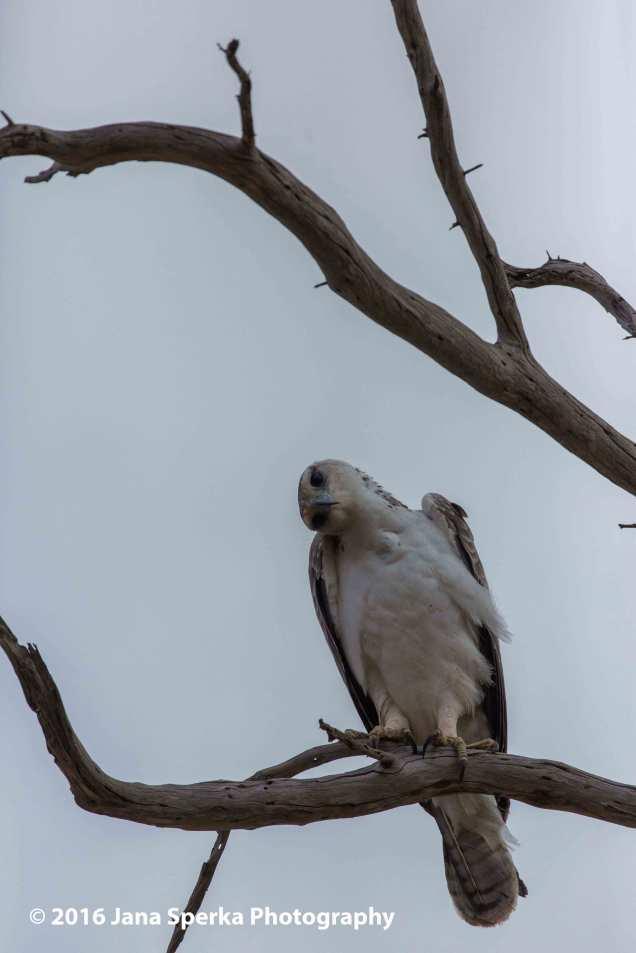martial-eagle_2web