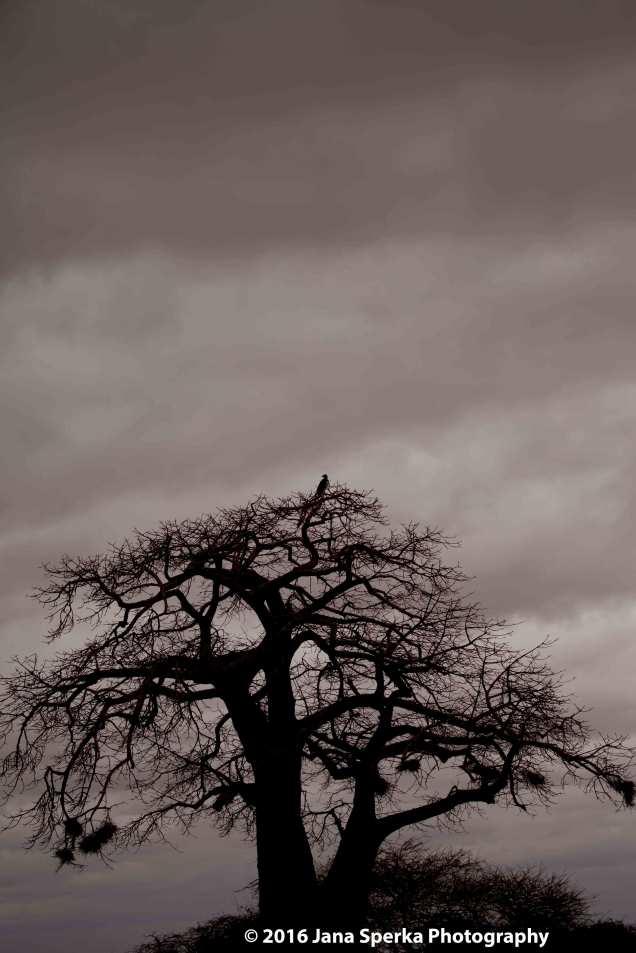 martial-eagle_4web