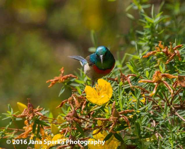 Mambo double collared sunbird. Should be in Congo but here we are.