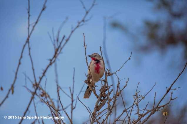 rosy-patchd-bush-shrikeweb