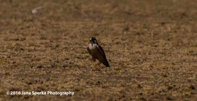 serengeti-falconweb