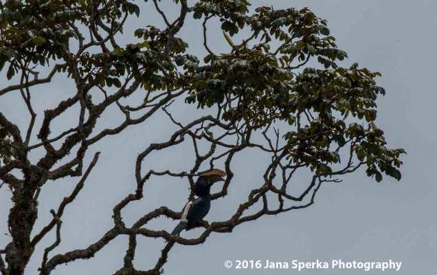 silvery-cheeked-hornbillweb
