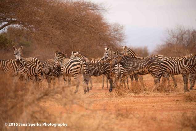 spotted-zebra_2web