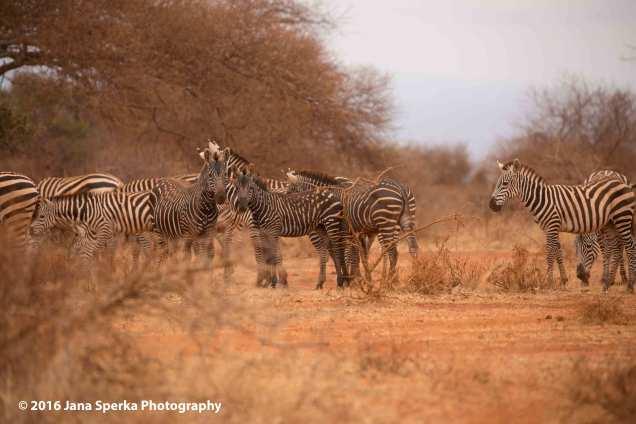 spotted-zebra_3web