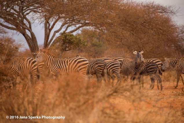 spotted-zebra_4web