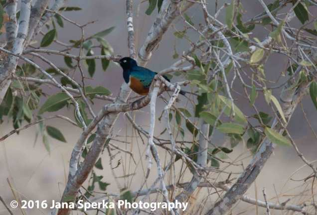 Superb starling, and the colours are superb.