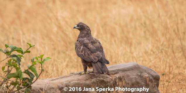 tawny-eagle-dark-morphweb