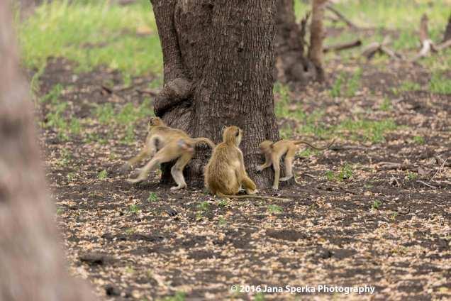 baby-baboons_1web