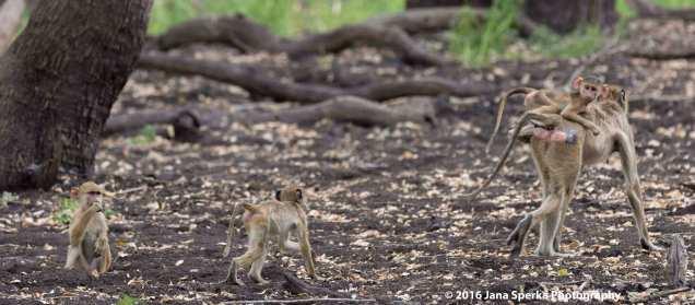 baby-baboons_2web