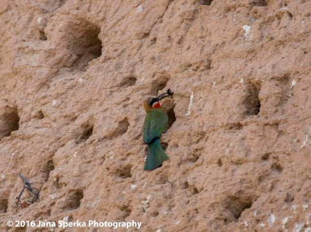 bee-eater-burrows_2web