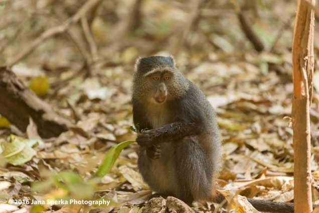 blue-monkey_1web
