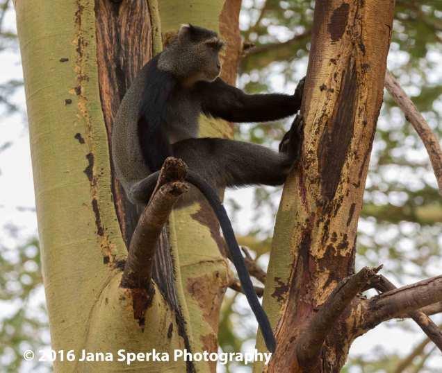 blue-monkey_2web