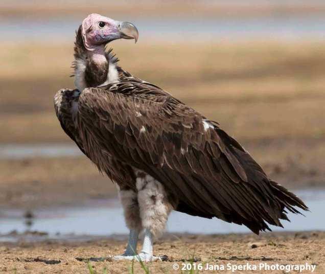 lapette-vultureweb
