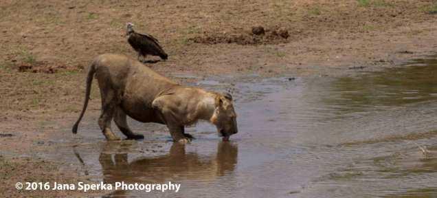 lion-drinkingweb