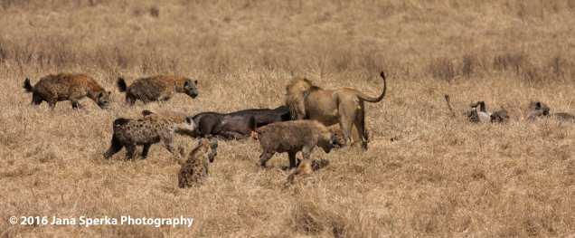 lion-vs-hyena_1web