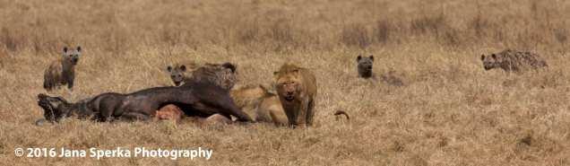 lion-vs-hyena_2web