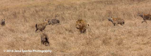 lion-vs-hyena_3web