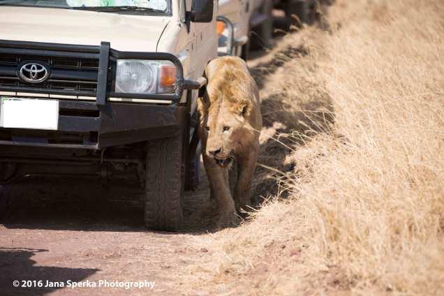 lion-vs-hyena_5web