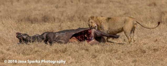lion-vs-hyena_6web