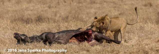 lion-vs-hyena_7web