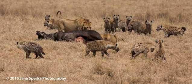 lion-vs-hyenaweb