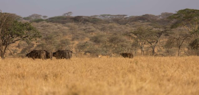 lions-baby-buffalo-hunt