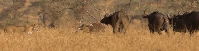 lions-baby-buffalo-hunt_1