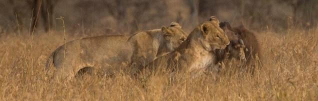 lions-baby-buffalo-hunt_10