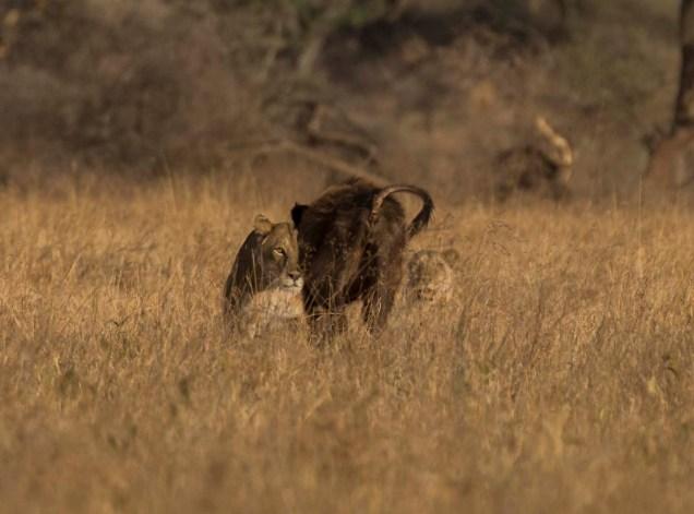 lions-baby-buffalo-hunt_14