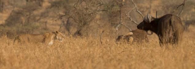lions-baby-buffalo-hunt_2