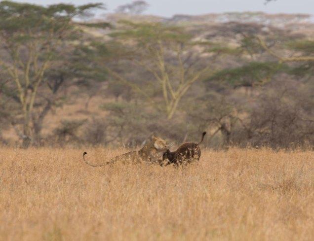 lions-baby-buffalo-hunt_3