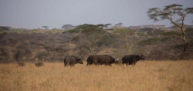 lions-baby-buffalo-hunt_4