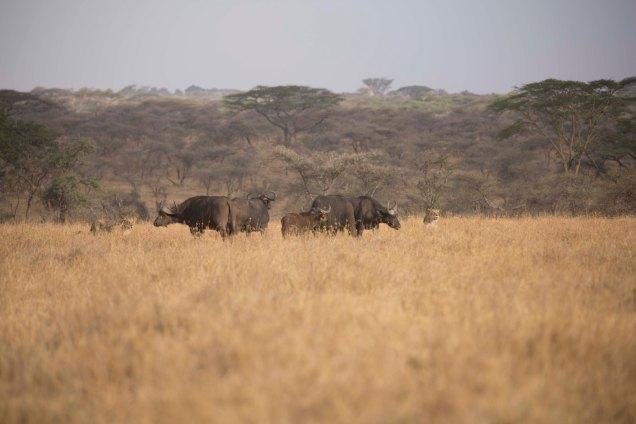 lions-baby-buffalo-hunt_5