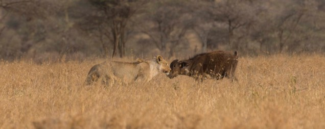lions-baby-buffalo-hunt_7