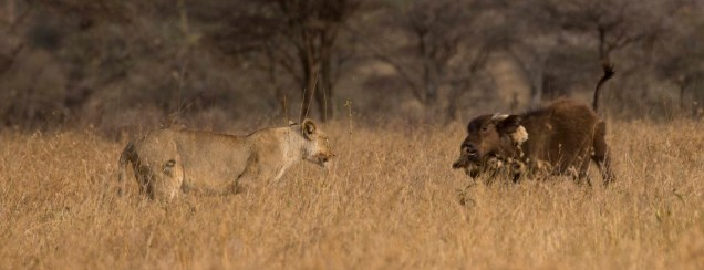 lions-baby-buffalo-hunt_8