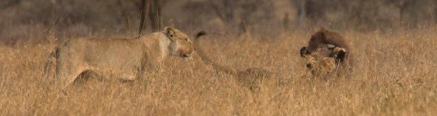 lions-baby-buffalo-hunt_9