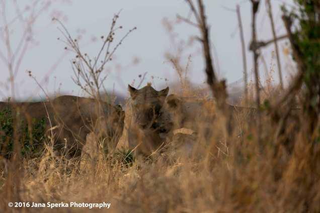 lions-brotherly-loveweb