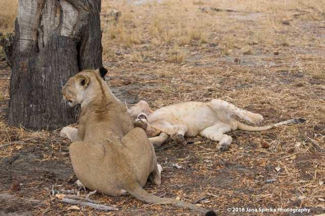 lions-eating_11web