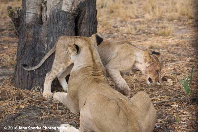 lions-eating_14web