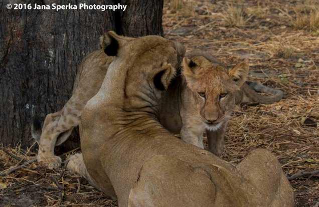 lions-eating_16web