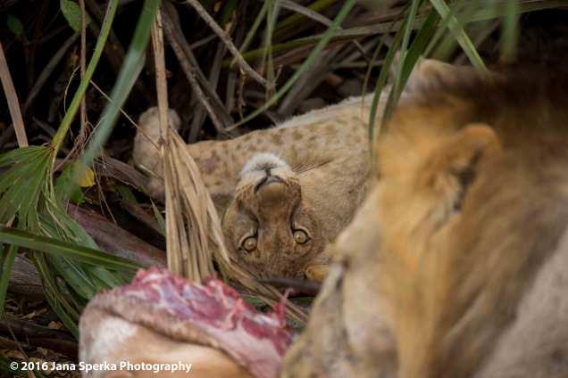 lions-eating_18web