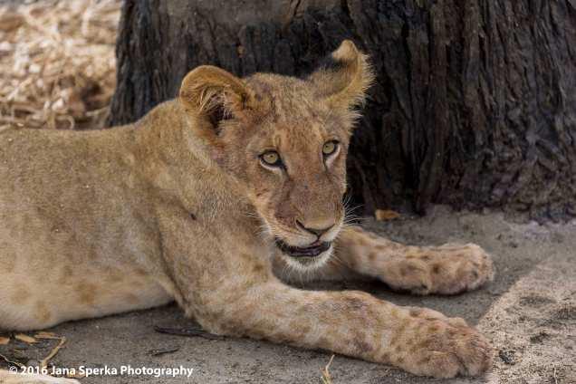 lions-eating_19web