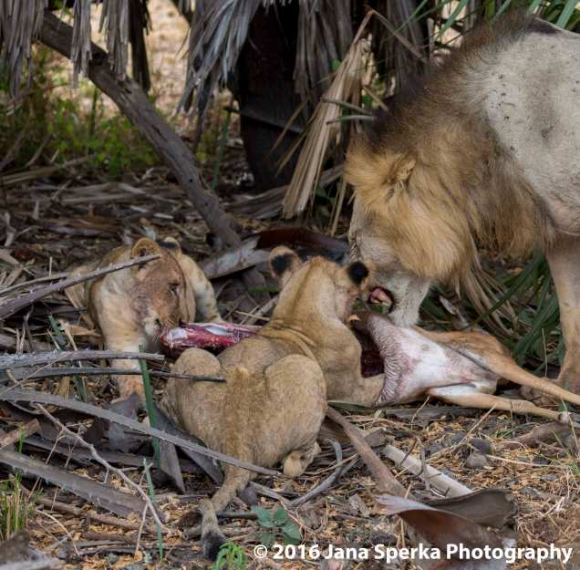 lions-eating_1web