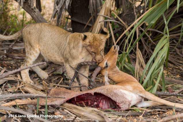lions-eating_24web