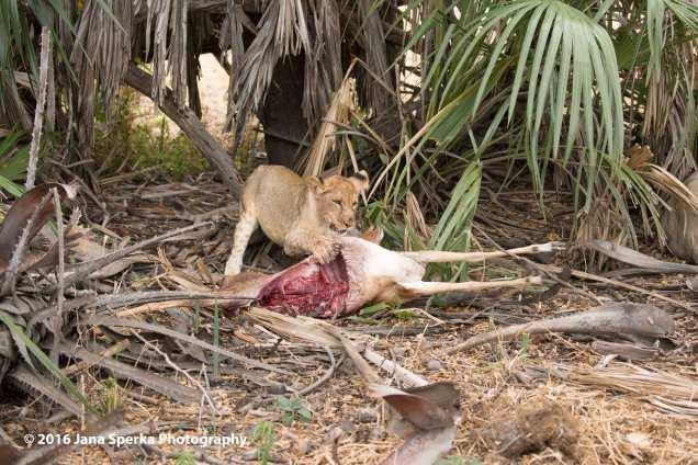 lions-eating_25web